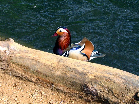 Mandarin Duck Isabella Plantation